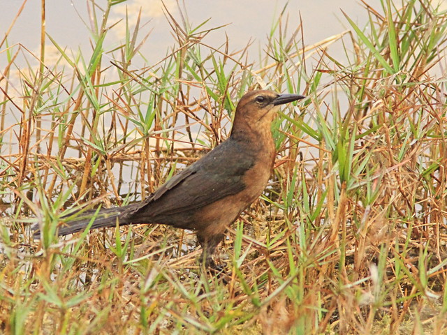 Boat-tailed Grackle 20150325