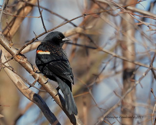 Carouge à épaulettes mâle - Red-winged Blackbird male