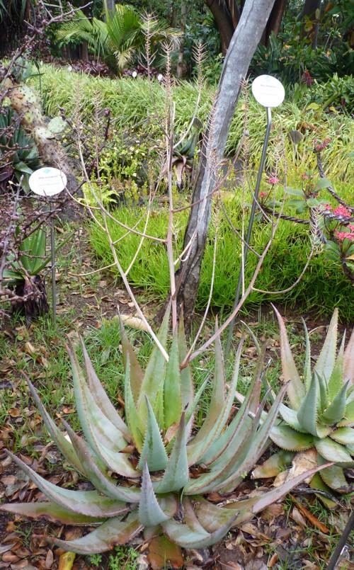 Aloe chabaudii 16958709480_eeb760e281_o