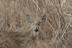 White-Tailed Deer, Pelham Bay Park