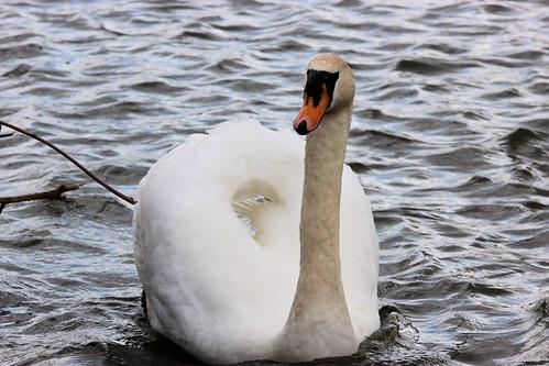 Mute Swan at Burton Constable