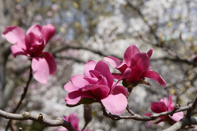 日, 2015-04-19 14:08 - Brooklyn Botanic Garden