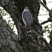 Small photo of Little Sparrowhawk (Accipiter minullus)