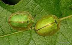 Tortoise beetles, Physonota sp.