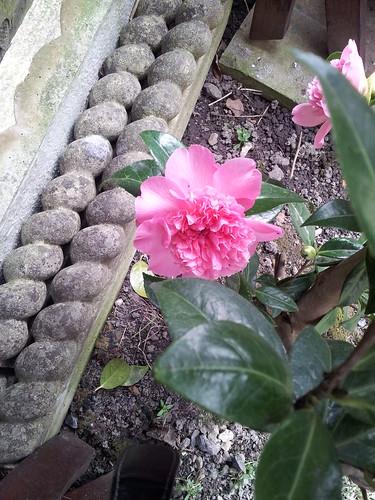 Camellia flowering around the back.