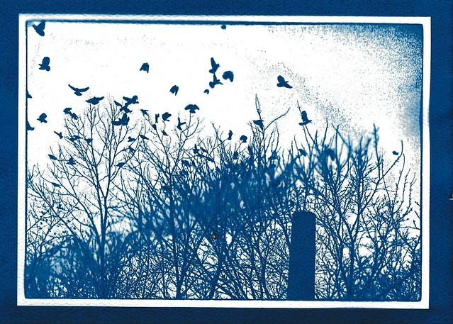"Cyanotype ""Fail"" - Crows"