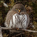 Tiny, bright-eyed Northern Pygmy-owl by annkelliott
