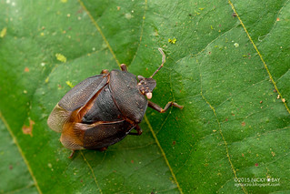 Shield bug? (Pentatomidae?) - DSC_3461