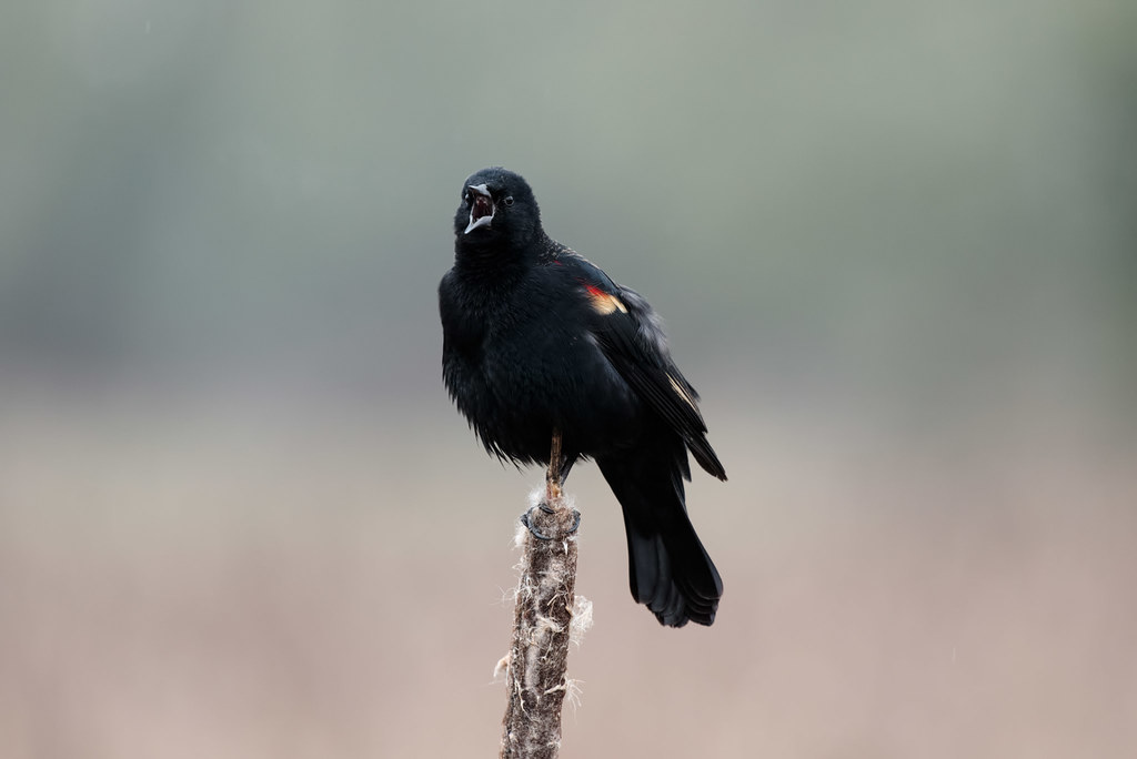 A male red-winged blackbird sings while sitting atop a cattail