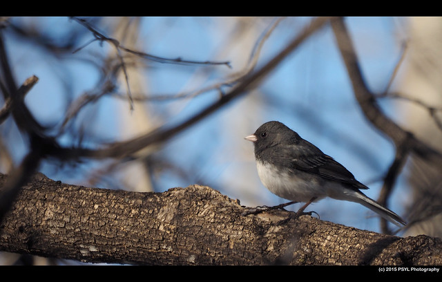 Dark-eyed Junco (Junco hyemalis)