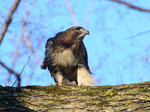 Sheep Meadow Hawk - 8406