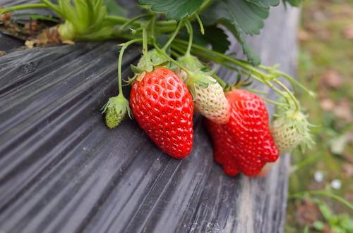 散策 [草莓] : RICOH GR