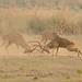 Chital Deer (Pradeep Singh)