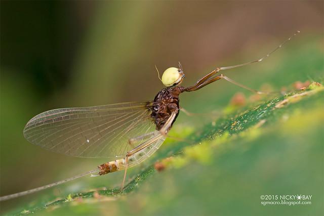 Mayfly (Ephemeroptera) - DSC_4833