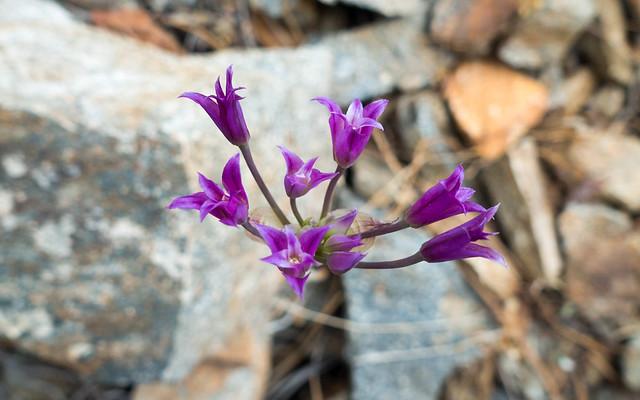 Magenta bulb flower, m670