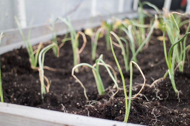 Planting Onions and Kale Spring 2015_10