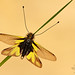 Libelloides coccajus by Pete Withers