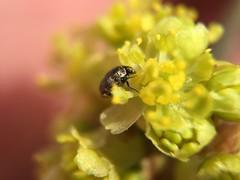 Small beetle (Anthrenus verbasci?) on Spicebush flower; Mount Rainier, PGC, Maryland; Apr 6, 2015