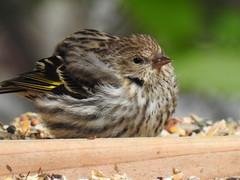 More Backyard Birds