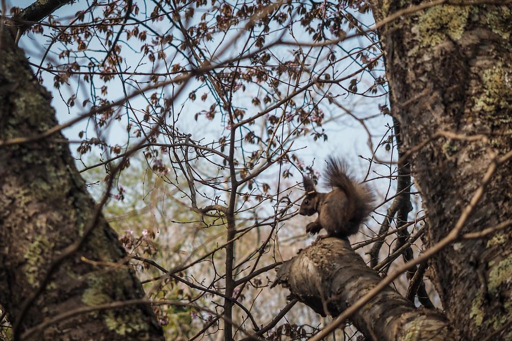 Squirrel at Onuma Park, Hokkaido, Japan