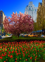 Tulips and cherry blossoms on Park Ave.