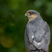 Sparrowhawk by Andy Morffew
