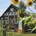 Shed With Sunflowers by ~ Liberty Images