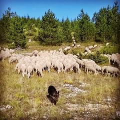 Stiamo arrivando #gregge #pecore #ovini #navelli #laquila #abruzzo #italy
