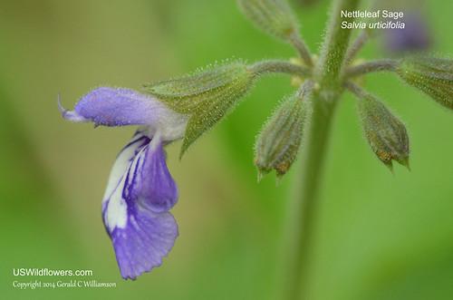 Nettleleaf Sage, Wild Sage - Salvia urticifolia