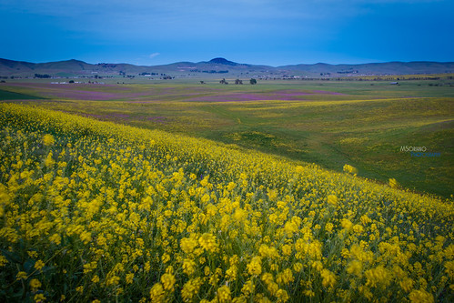 california yellow spring unitedstates hills bayarea mustard livermore marvinsoriano