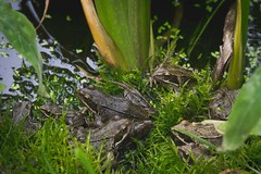 All The Frogs