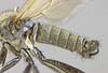 Rhamphomyia simplex, Farchynys, North Wales, May 2013