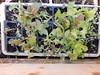 Hailed Lettuce