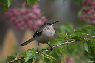 """Northern Mockingbird"" ""Mimus polyglottos"""