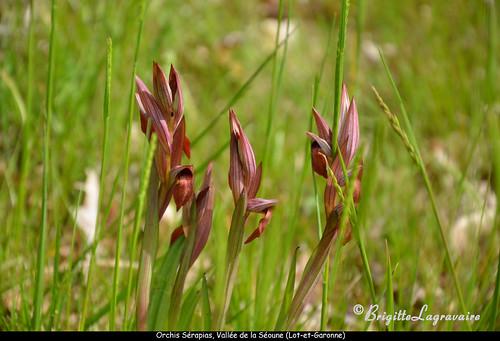 Orchidées dans les prés