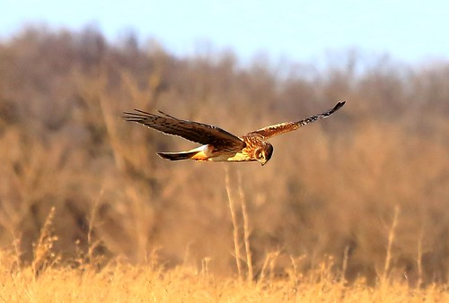 county hawk howard reis iowa larry springs lime northern juvenile harrier