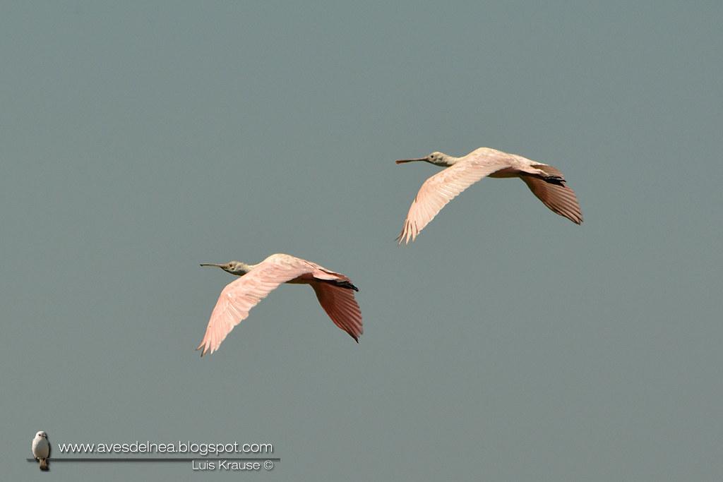 Espátula rosada (Roseate Spoonbill) Platalea ajaja