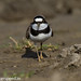 uttampegu posted a photo:	Little Ringed Plover in Udaipur