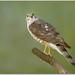 Sharp-shinned Hawk by BN Singh