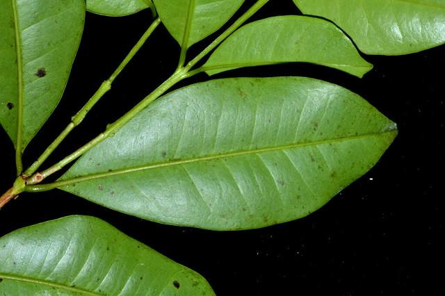 Syzygium trachyphloium DSC_0694 (4)
