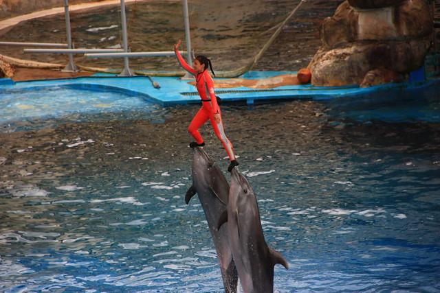 遠雄海洋公園海豚表演橋段之一,由兩隻海豚用吻部從水中頂起訓練師。(圖片提供:黑潮海洋文教基金會)兩會於去(2014)年9月召開「拒絕觀賞海洋哺乳動物展演」記者會後,園方已取消此一動作。