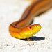 Yellow Rat Snake (Elaphe obsoleta quadrivittata) by Frank Shufelt