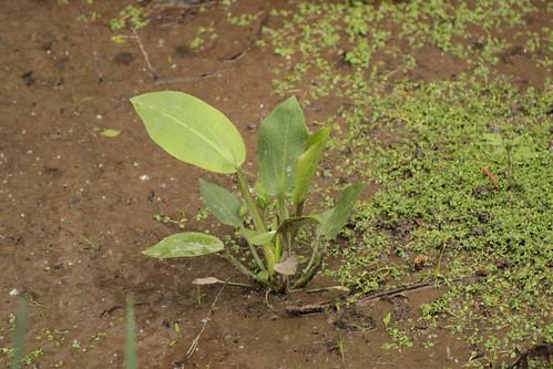 Alisma plantago-aquatica [identification] 17028747877_130413caef