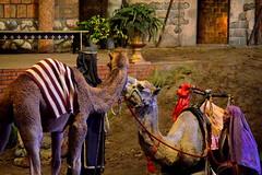 Camels Nuzzle