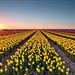 Sunset at the tulip fields by Alex Verweij