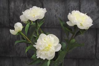 white peonies II