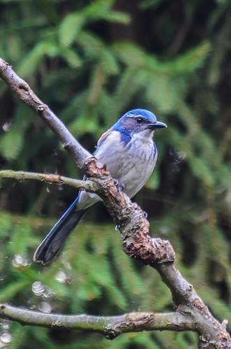 <p><i>Aphelocoma californica</i>, Corvidae<br /> Maple Ridge, British Columbia, Canada<br /> Nikon D5100, 70-300 mm f/4.5-5.6<br /> April 12, 2015</p>