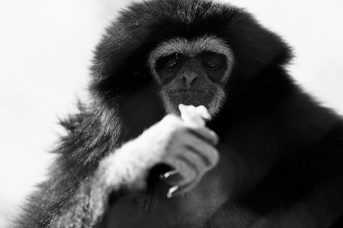 Photo:Gibbon Eating By:Eric Kilby