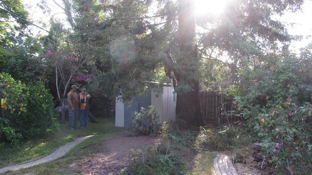 IMG_0965 Agnew tree service redwood cut setup