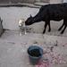 Hungry Cow - Varanasi, India by Maciej Dakowicz